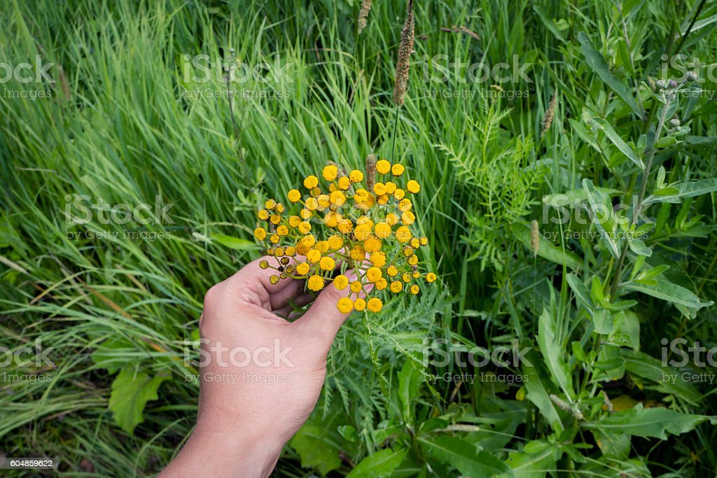 Picking yellow tansy flowers foto de stock royalty-free
