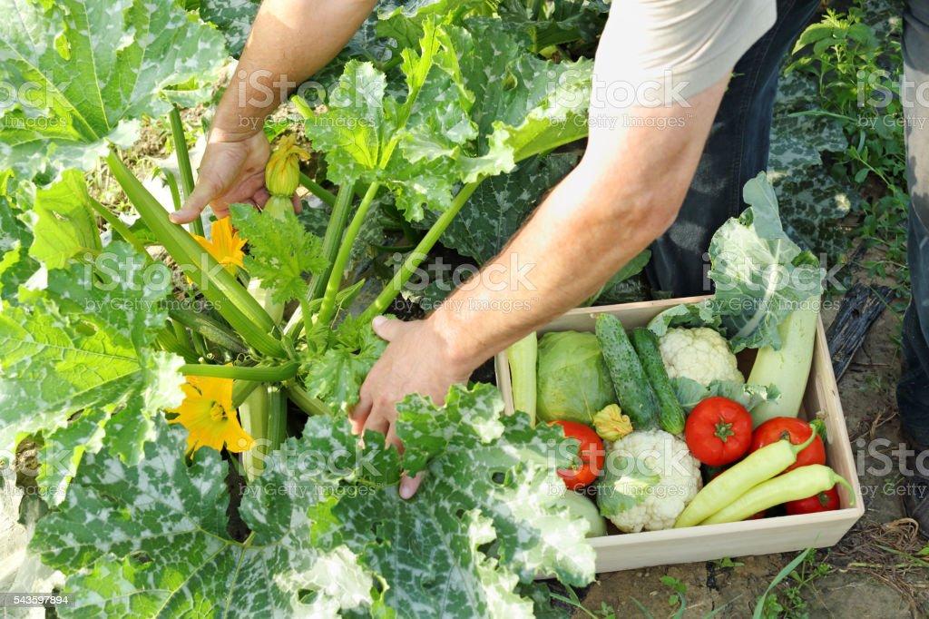 picking zucchini stock photo