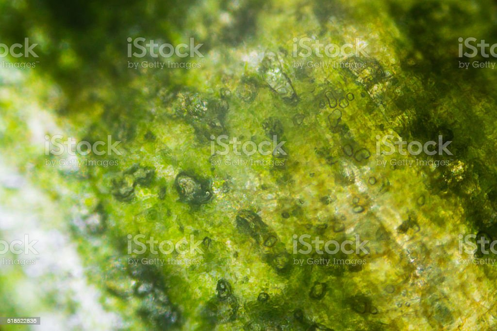 Pickled cucumber under the microscope stock photo