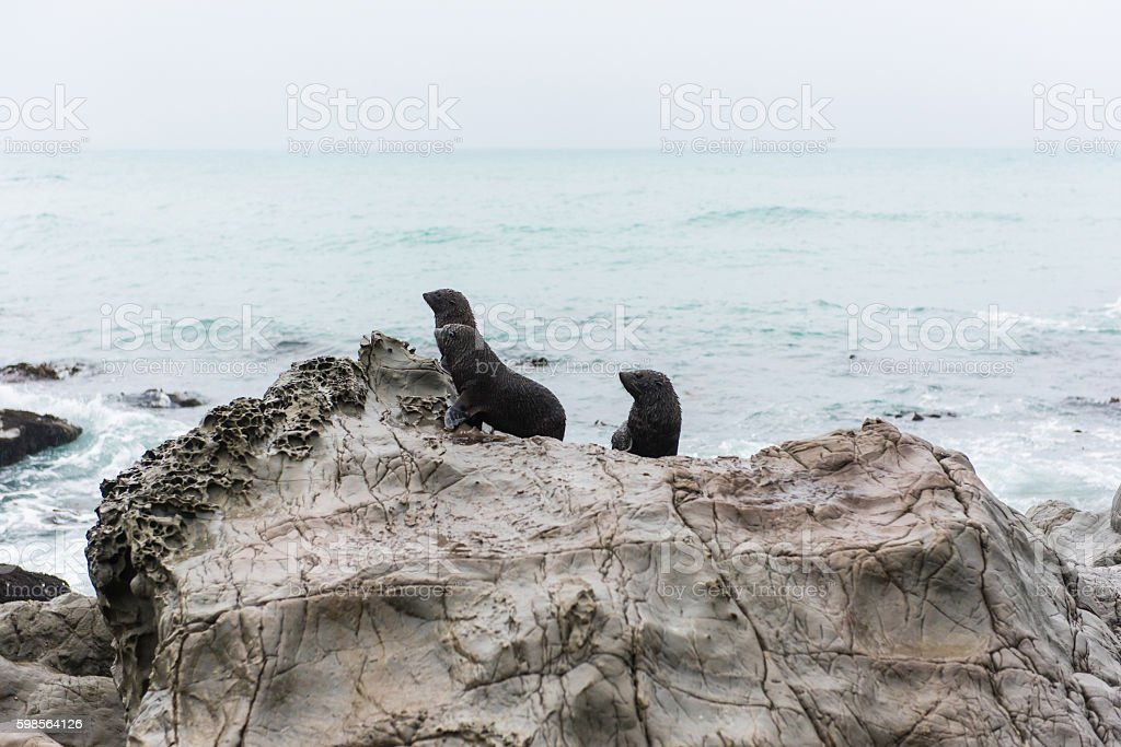 Picton seal colony in New Zealand stock photo