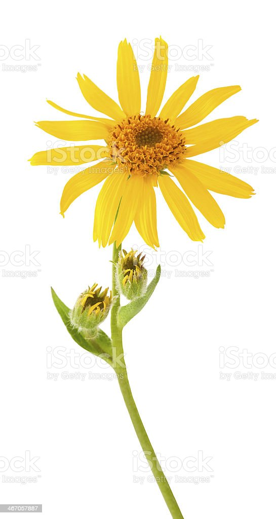 A picture of a budding and bloomed yellow arnica Montana stock photo