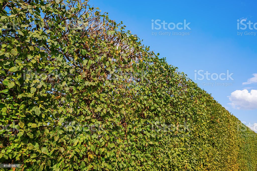 picture of a common hornbeam hedge and blue sky stock photo