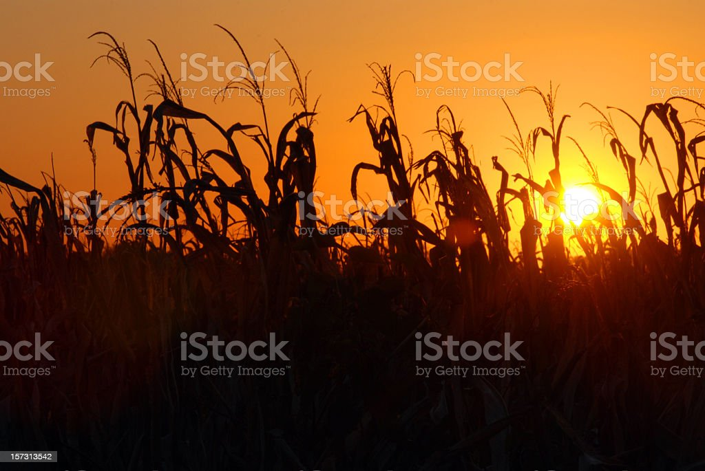 A picture of a cornfield during a sunset royalty-free stock photo