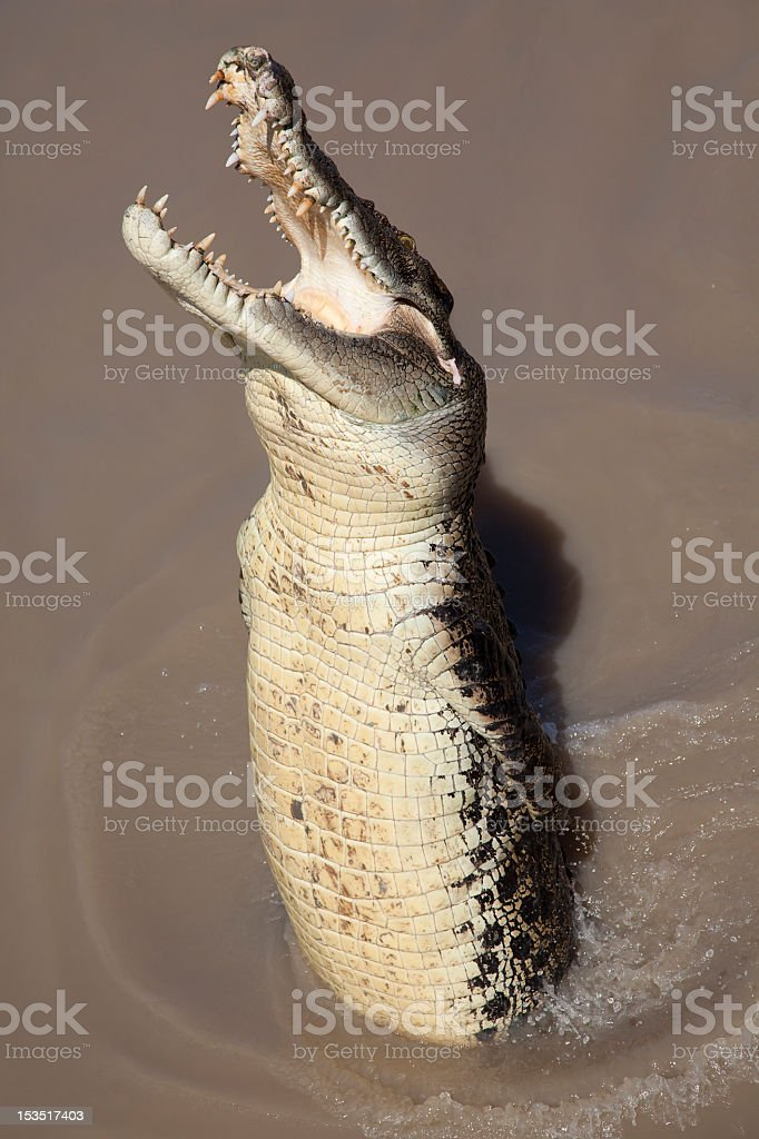 A picture of a crocodile jumping out of water stock photo