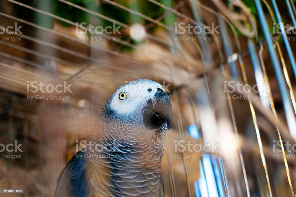 picture of a cute grey parrot in a cage stock photo