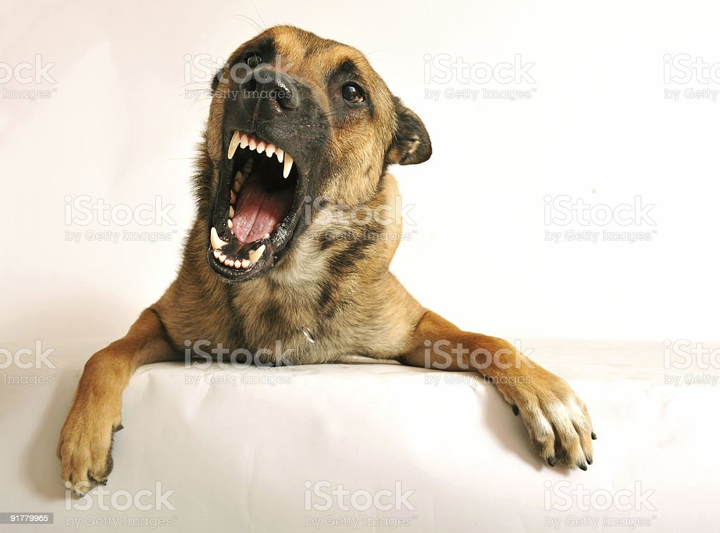 Picture of a dog with its mouth open angrily stock photo