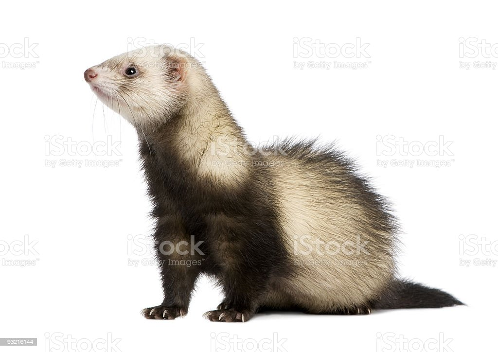 A picture of a furry ferret against a white background stock photo