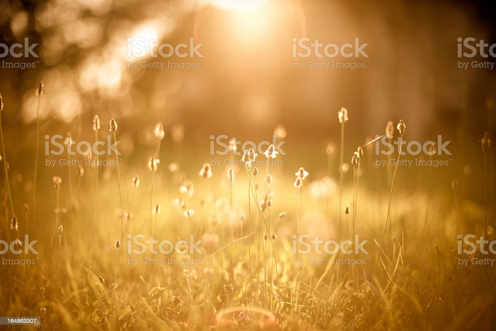 A picture of a golden field filled with sunlight stock photo