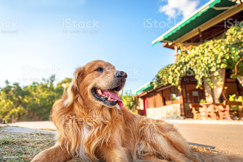 Picture of a Golden Retriever. stock photo