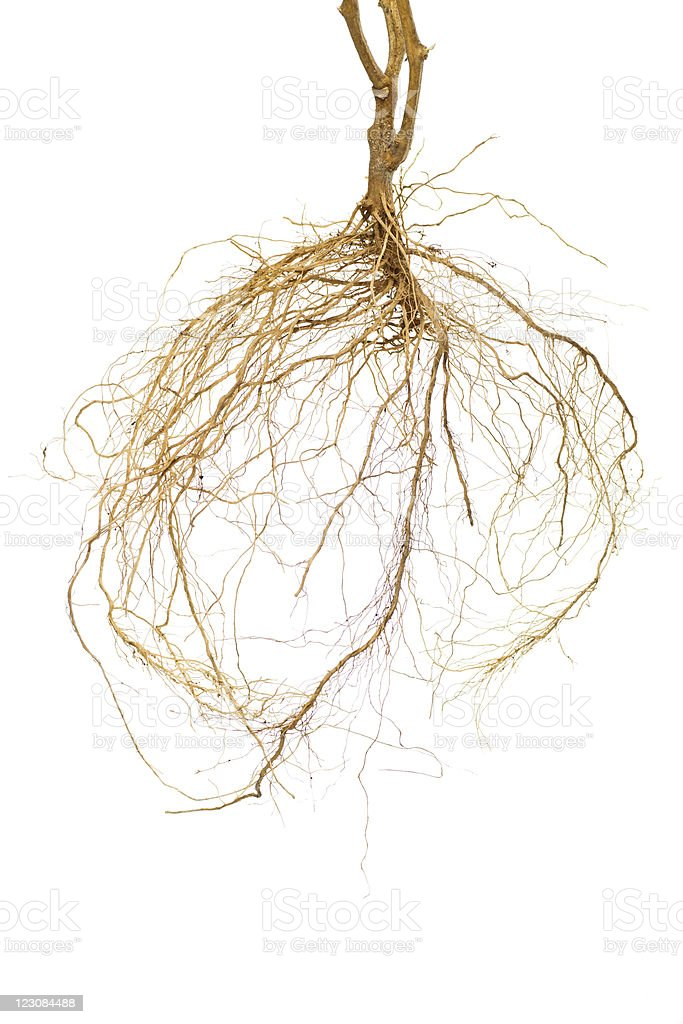 A picture of a plant roots against a white background stock photo