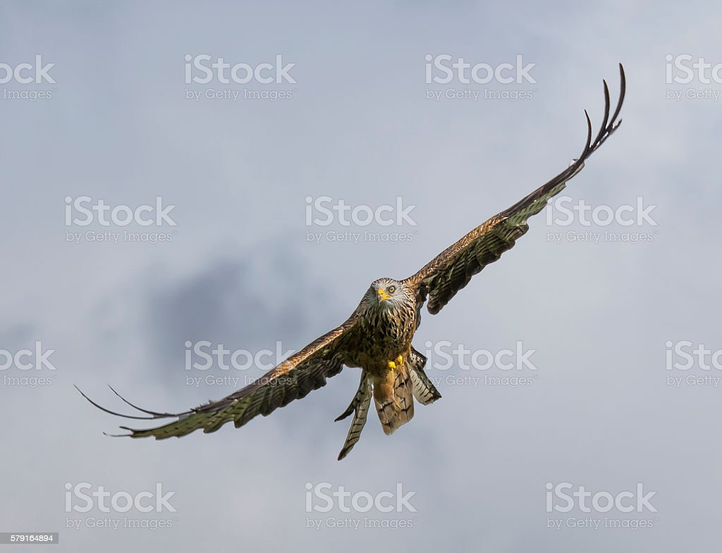 picture of a red kite in flight stock photo