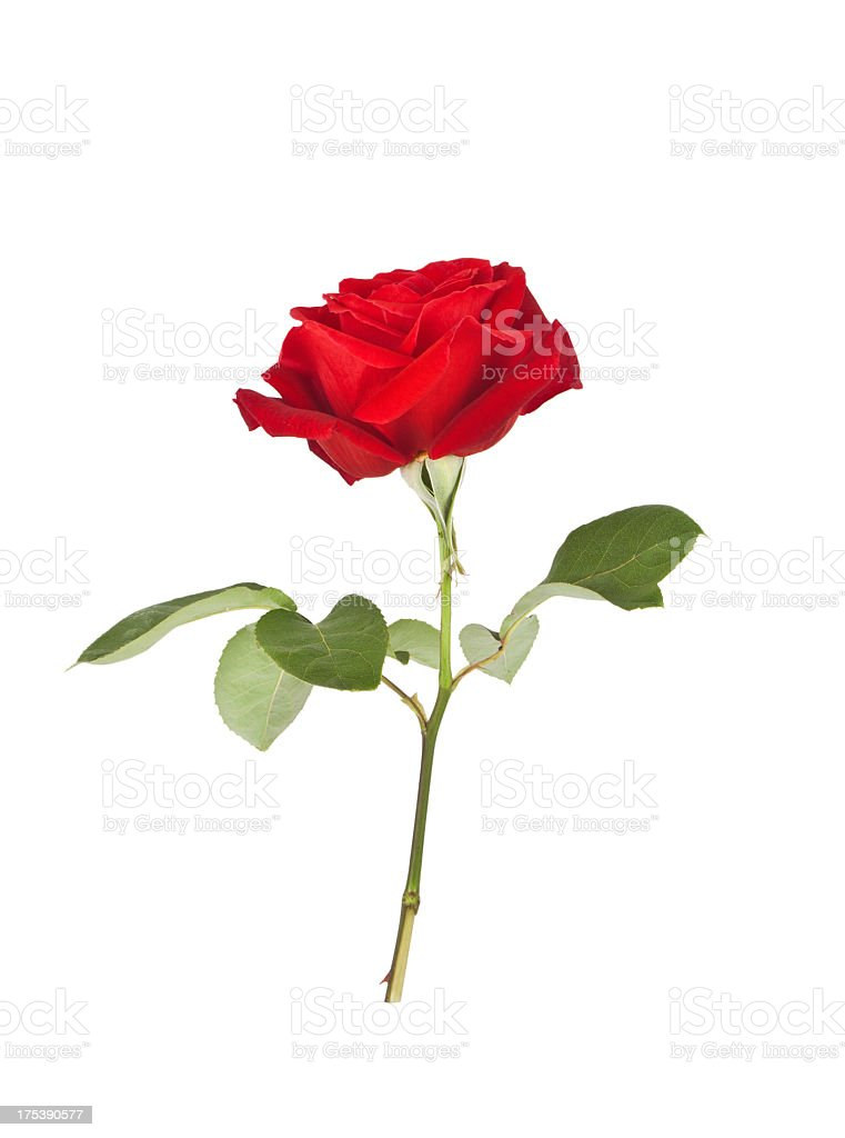 A picture of a red rose on a white background stock photo