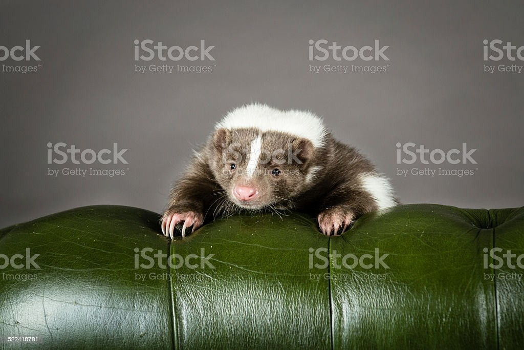 Picture of a Skunk stock photo