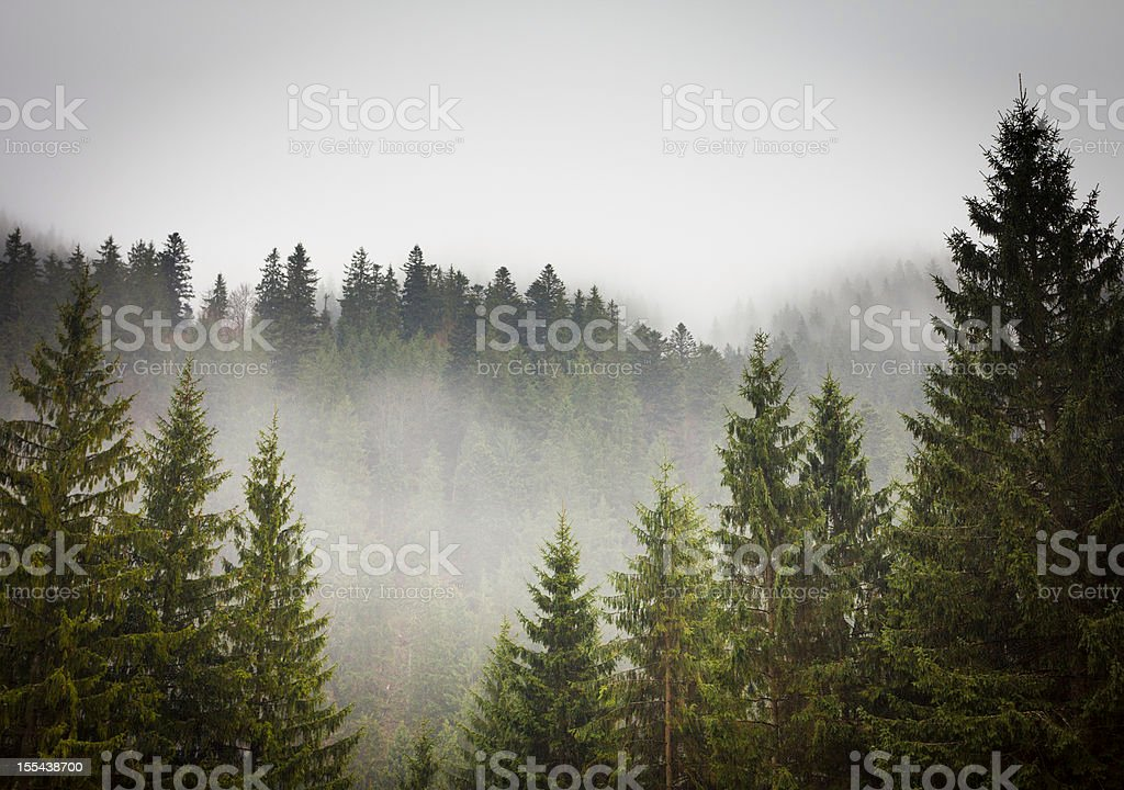 Picture of a spruce forest on a cold foggy day stock photo