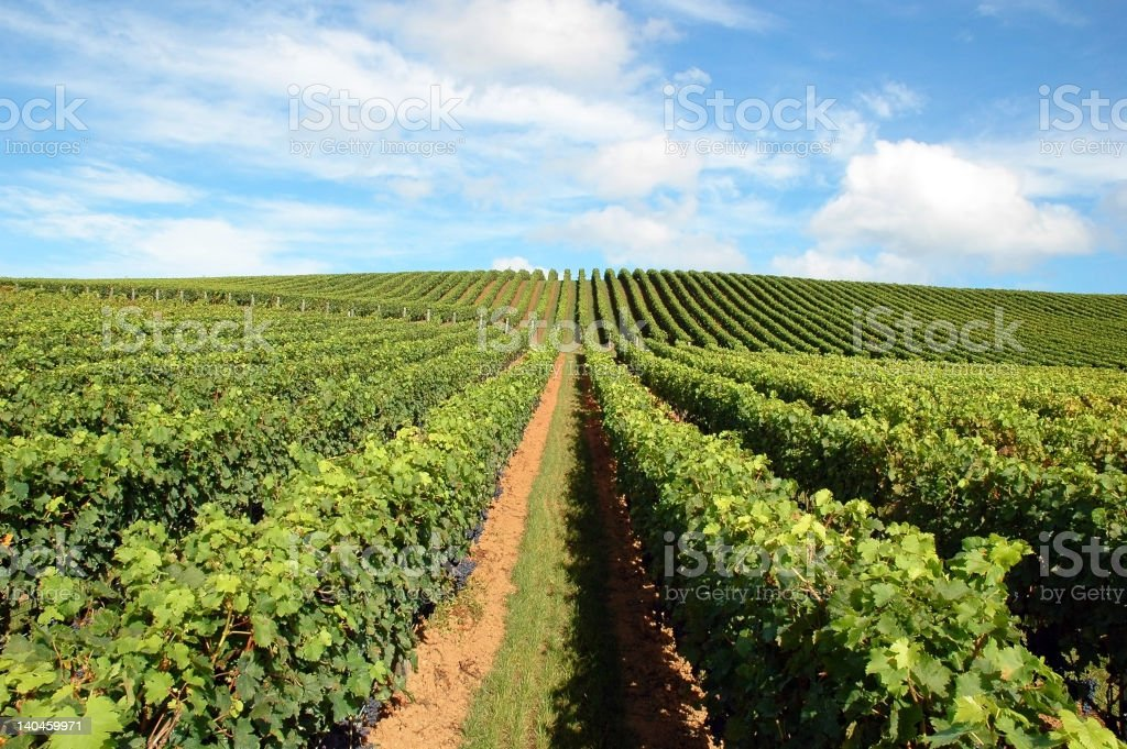 Picture of a vineyard in Makatana, New Zealand stock photo
