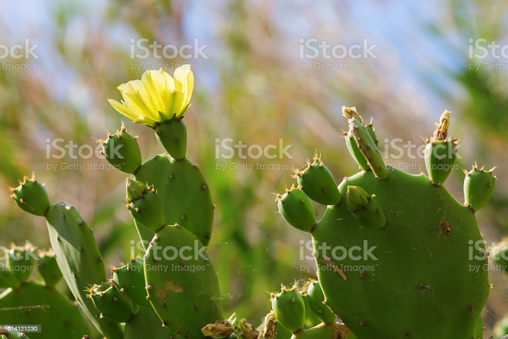 picture of an opuntia cactus with yellow flower stock photo