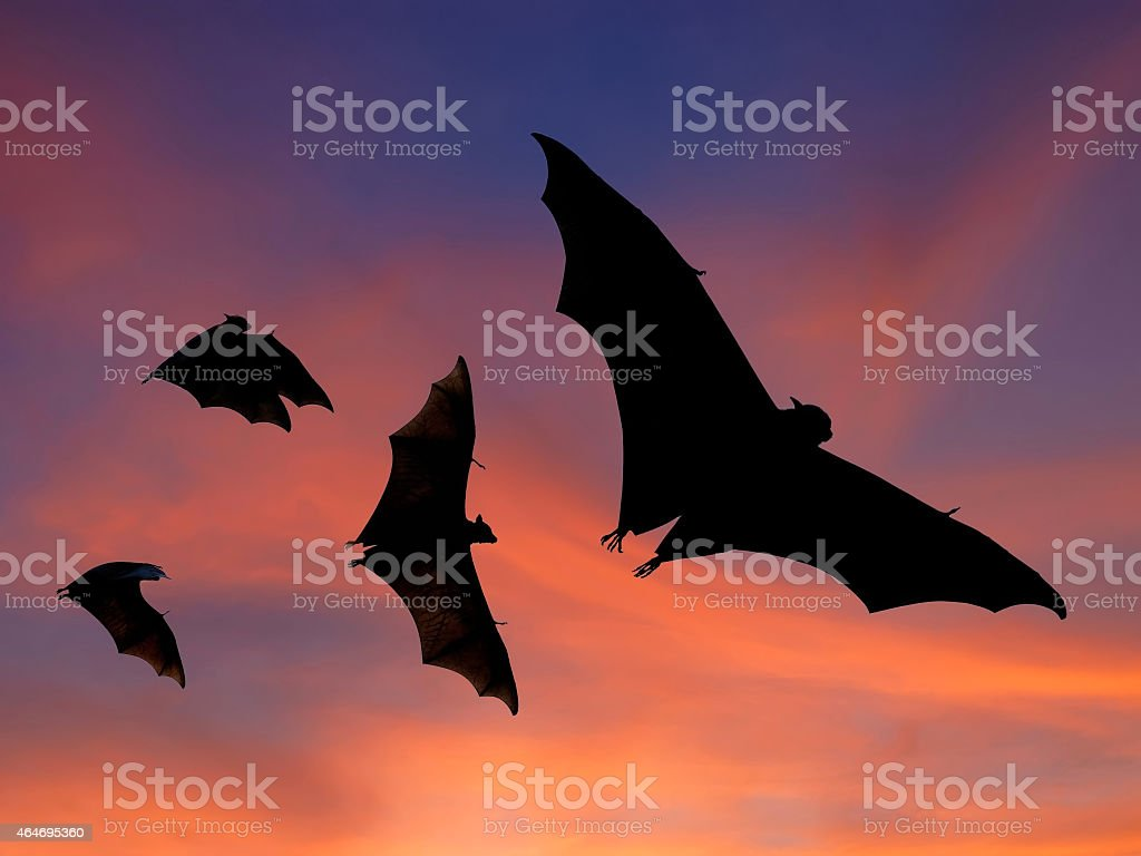 Picture of black bats in a sunset sky stock photo