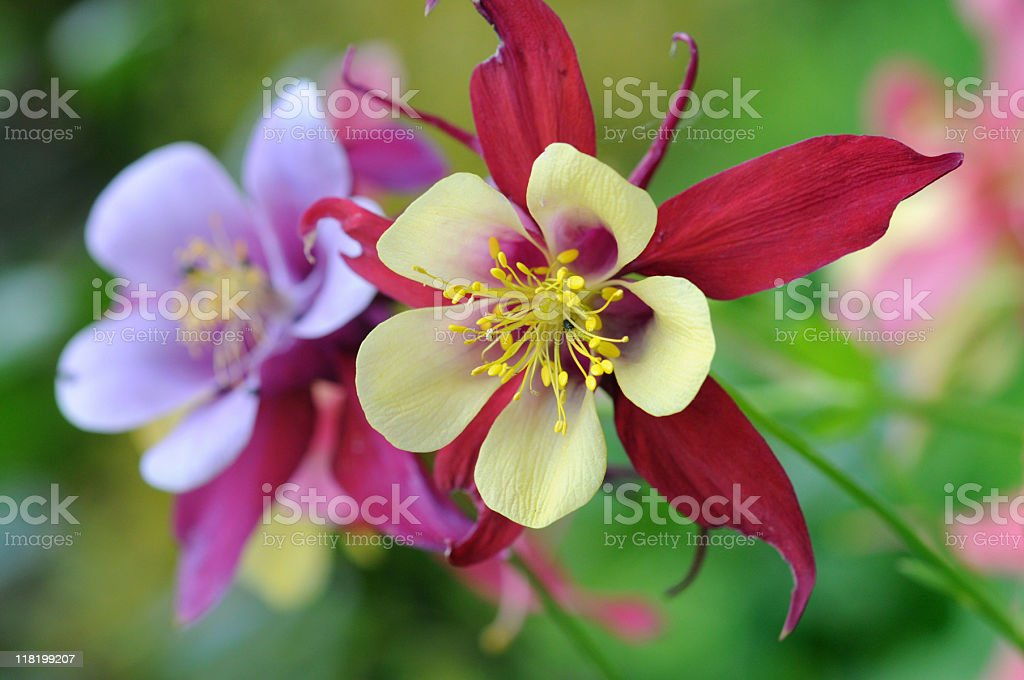 Picture of blooming Crimson Columbine stock photo