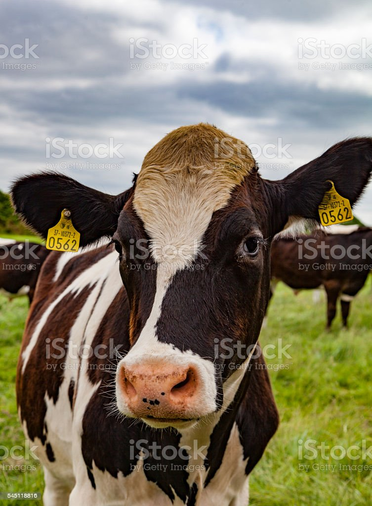 picture of cow with number tag in ear stock photo