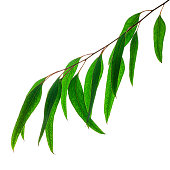 Picture of eucalyptus leaves on white background