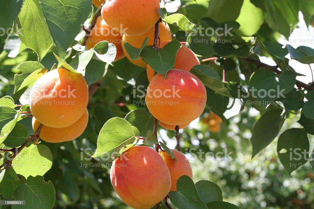 Picture of fruit on a peach tree stock photo