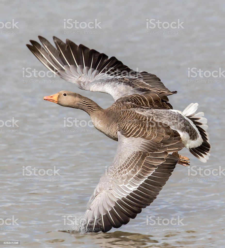 picture of greylag goose in flight stock photo