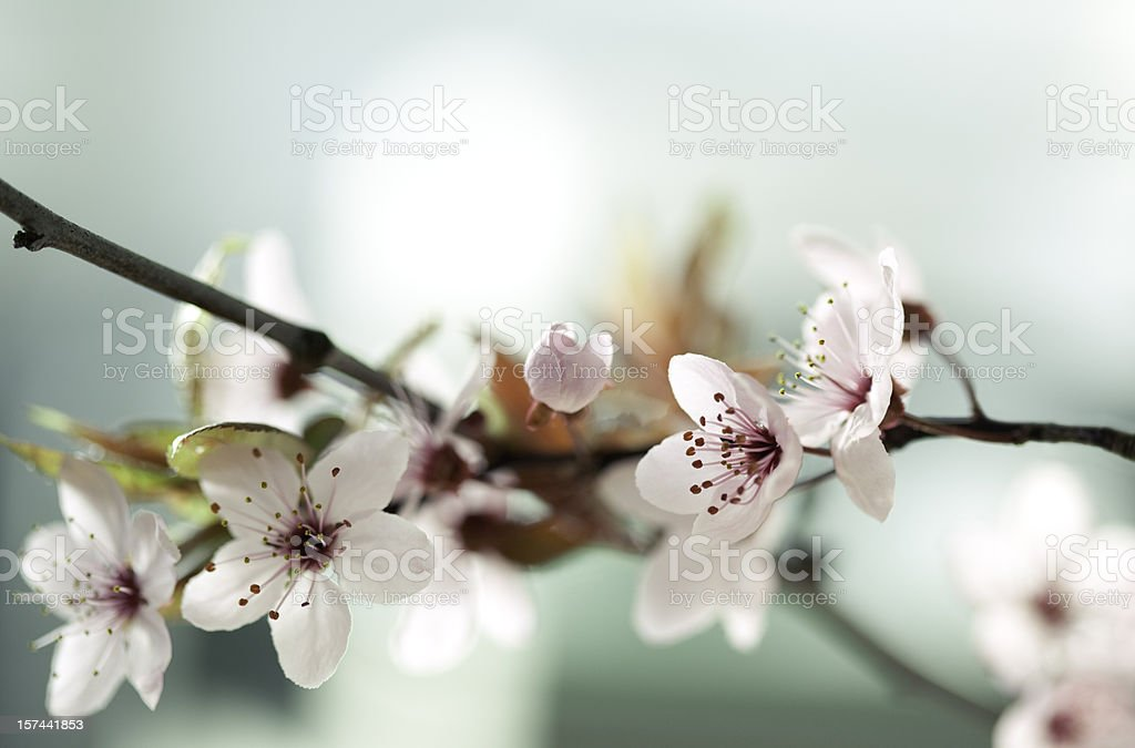 Picture of Japanese cherry blossoms stock photo
