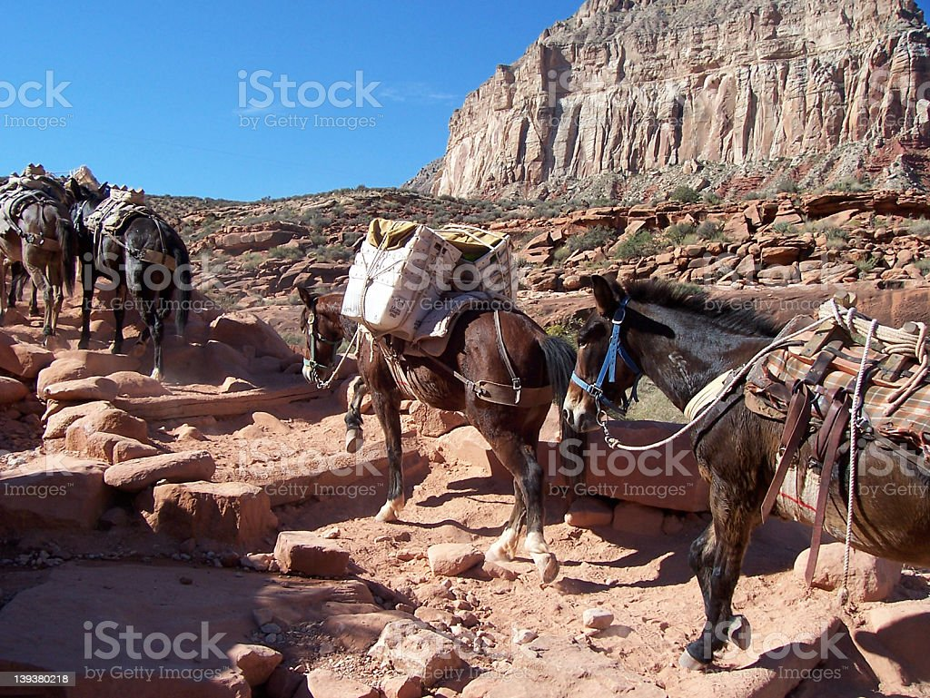 A picture of mules in a line at the Grand Canyon royalty-free stock photo