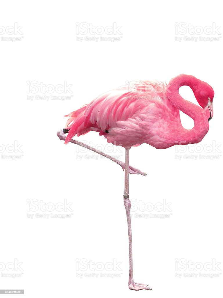 Picture of pink flamingo sleeping on one leg stock photo