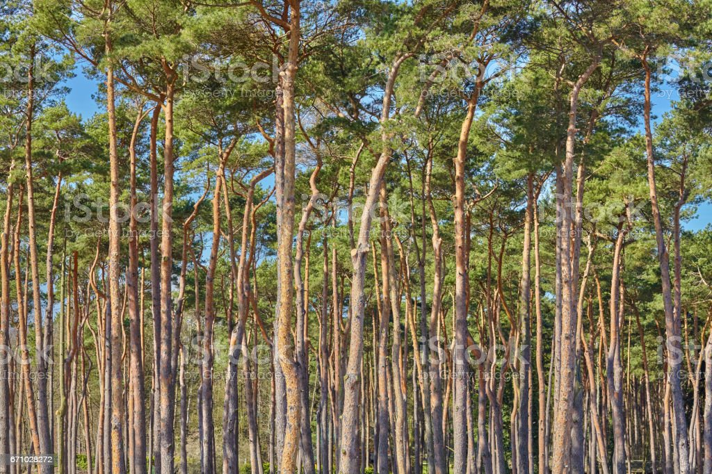 Picture of tall pine trees forest stock photo