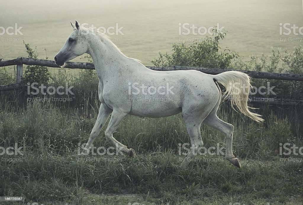 Picture of white steed with rular landscape in background royalty-free stock photo