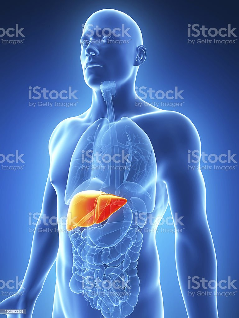 A picture showing the location of the human liver stock photo