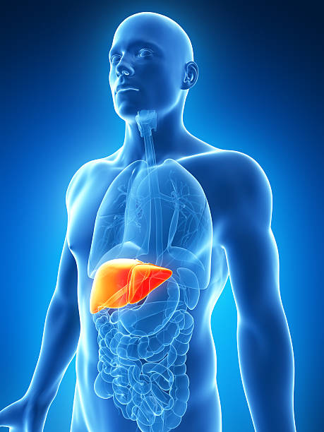 human liver pictures, images and stock photos - istock, Human Body