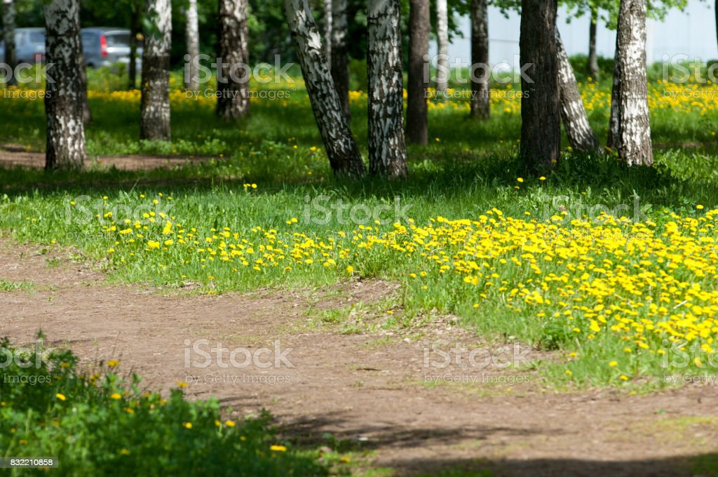 Picture taken with a shallow depth of field, great for designers. Spring blooming dandelions in the park stock photo