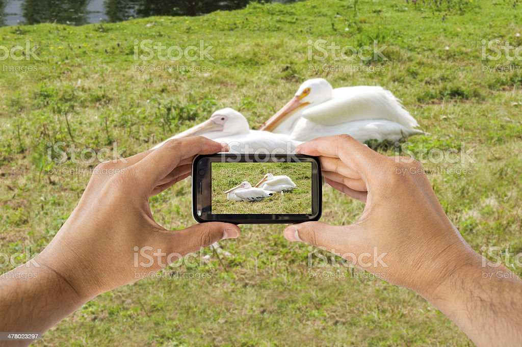 picture with the phone a few pelicans royalty-free stock photo