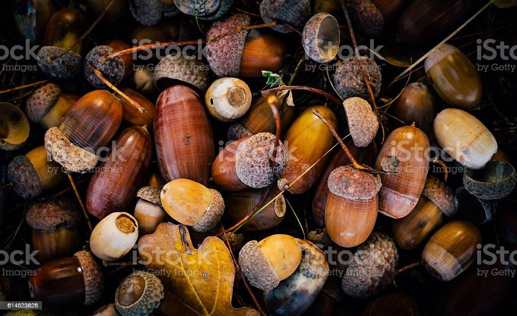 Picturesque autumn acorns. Forest gift stock photo