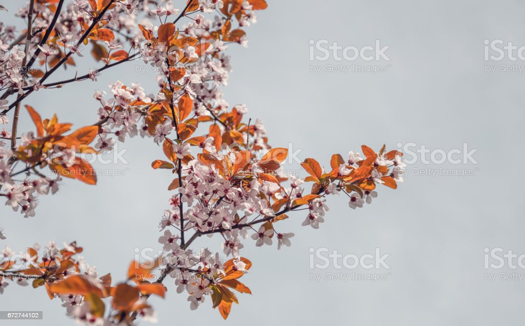 picturesque branches of a blossoming Japanese cherry blossoms against the clear blue sky stock photo