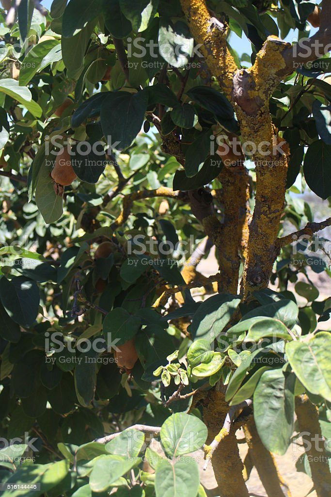 Picturesque golden lichen on a quince tree stock photo
