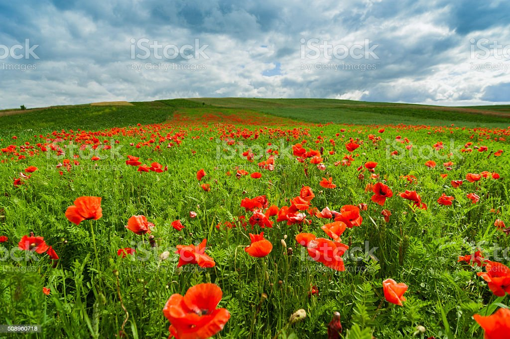 Picturesque landscape with poppy flowers against the blue cloudy sky stock photo