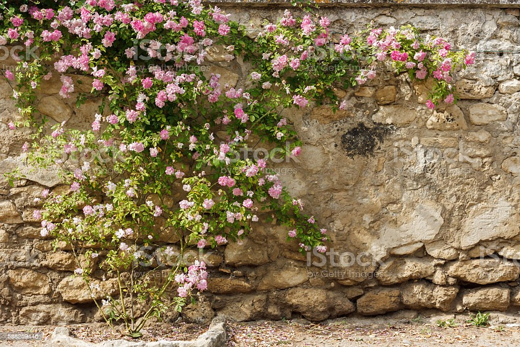 Picturesque Provence - Old wall with climbing rose in Grignan stock photo