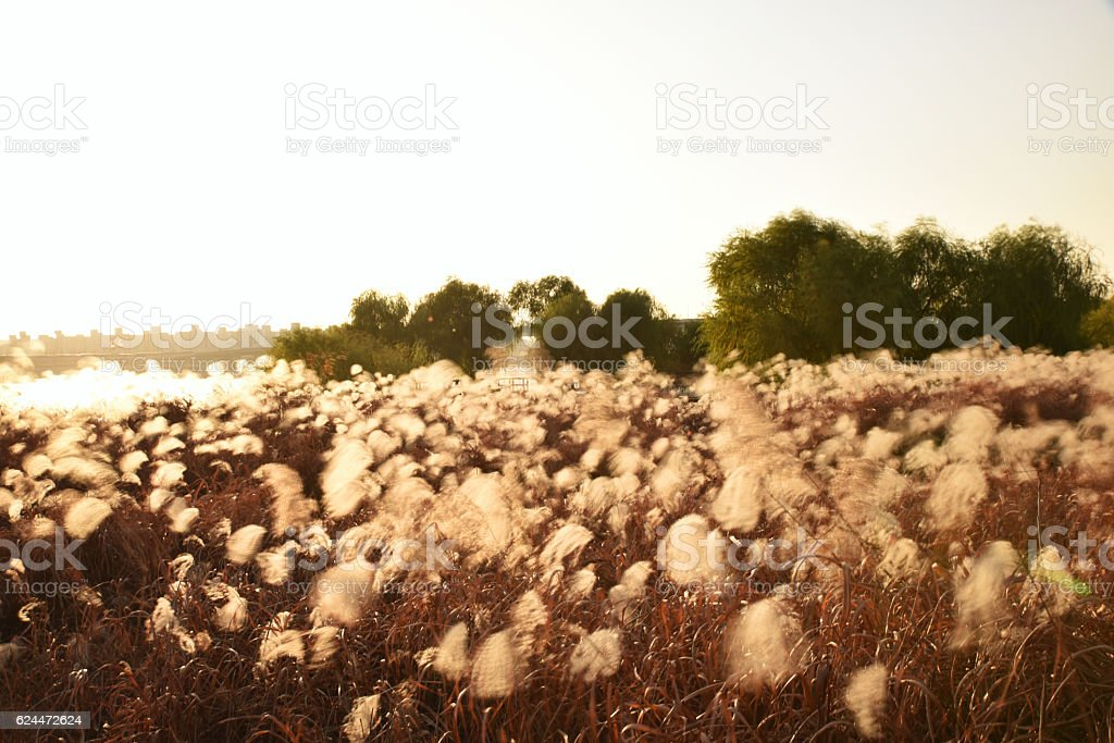picturesque reeds stock photo