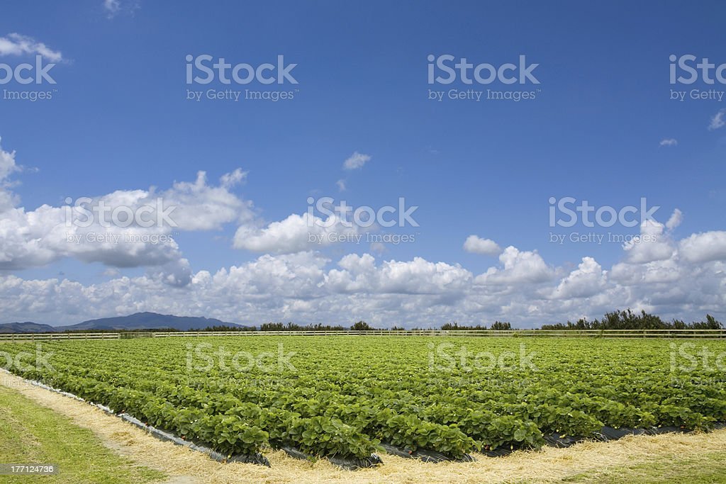 Picturesque strawberry field stock photo