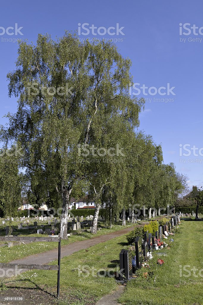 Cemetery parade of silver birch trees Betula pendula stock photo