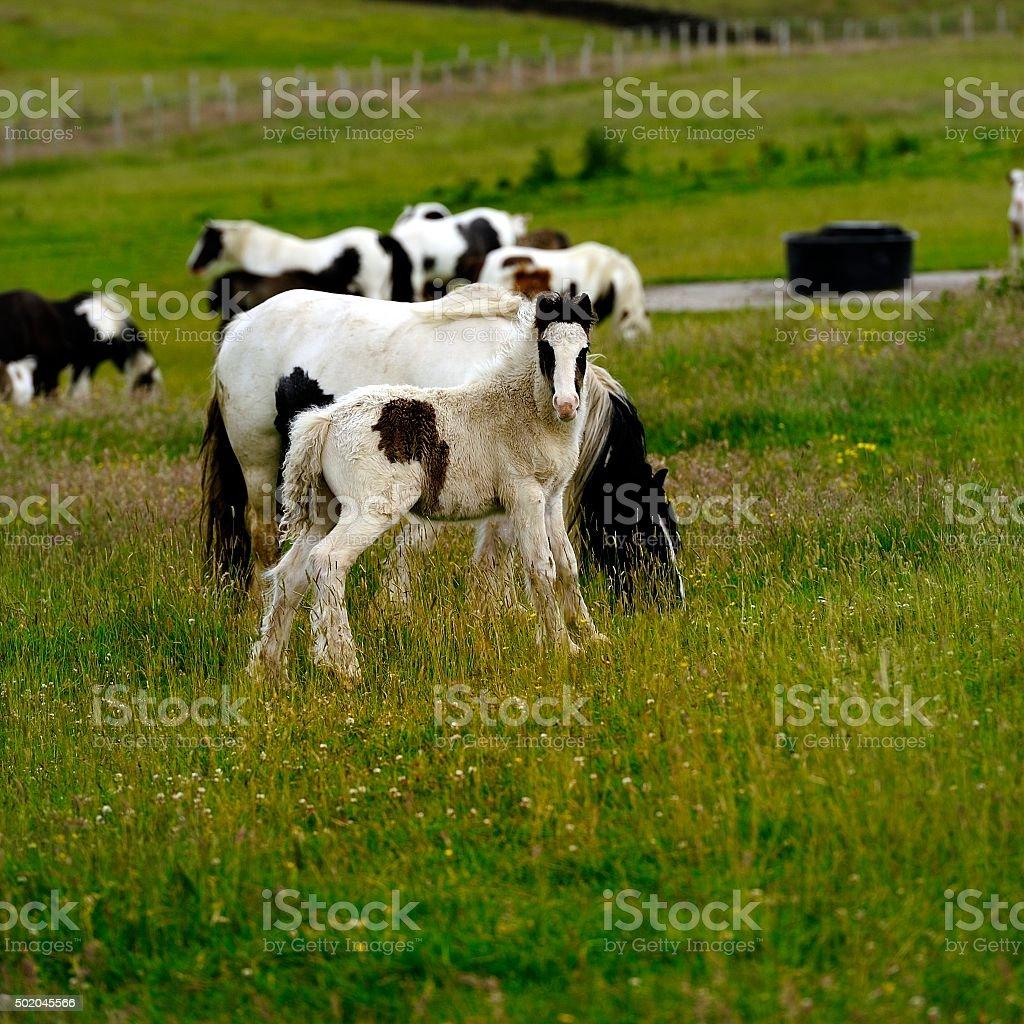 Piebald Foal watching stock photo