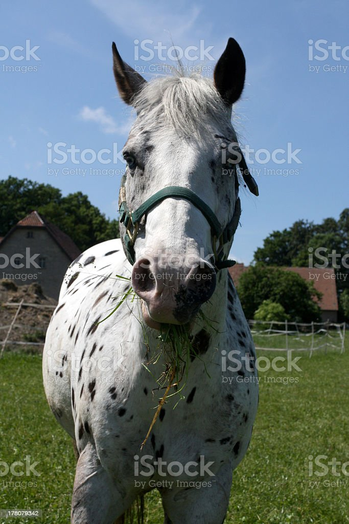 Piebald horse on a pasture stock photo