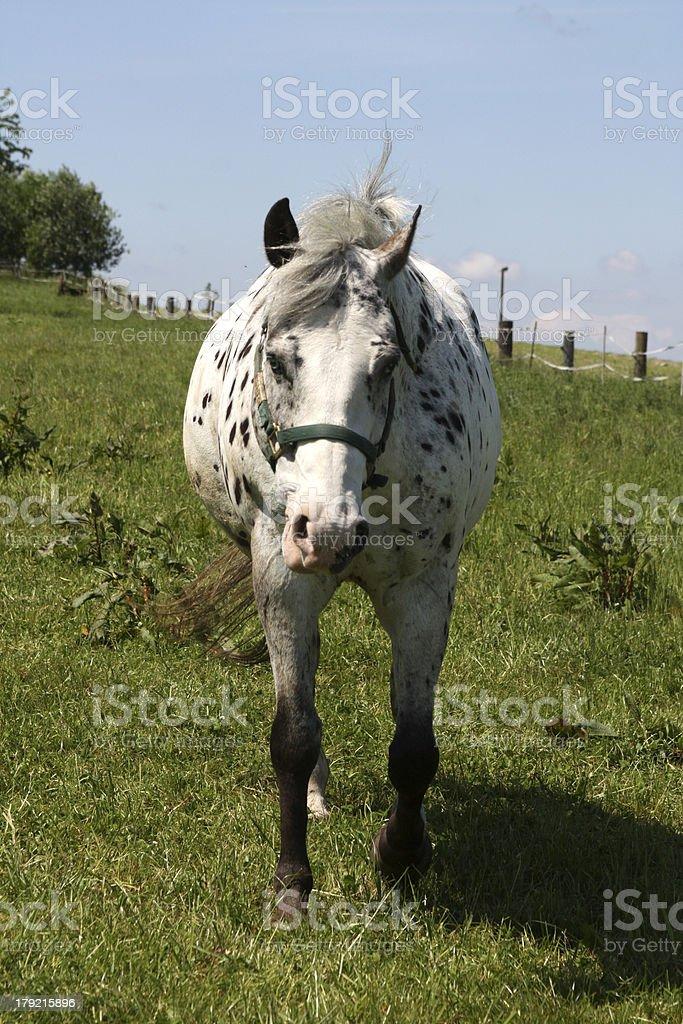 Piebald horse on a pasture stock photo