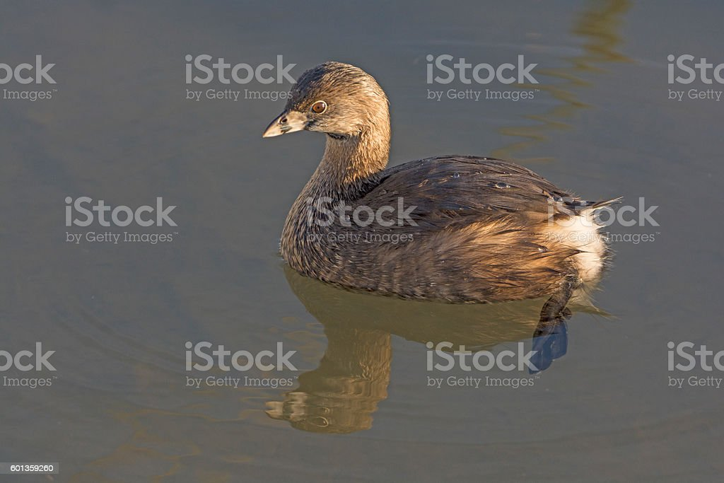 Pie-billed Grebe in a Wetland Pond stock photo