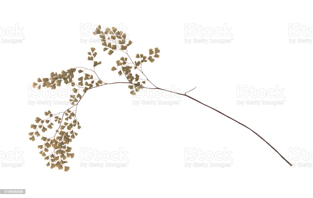 Piece of antique pressed maidenhair fern stock photo