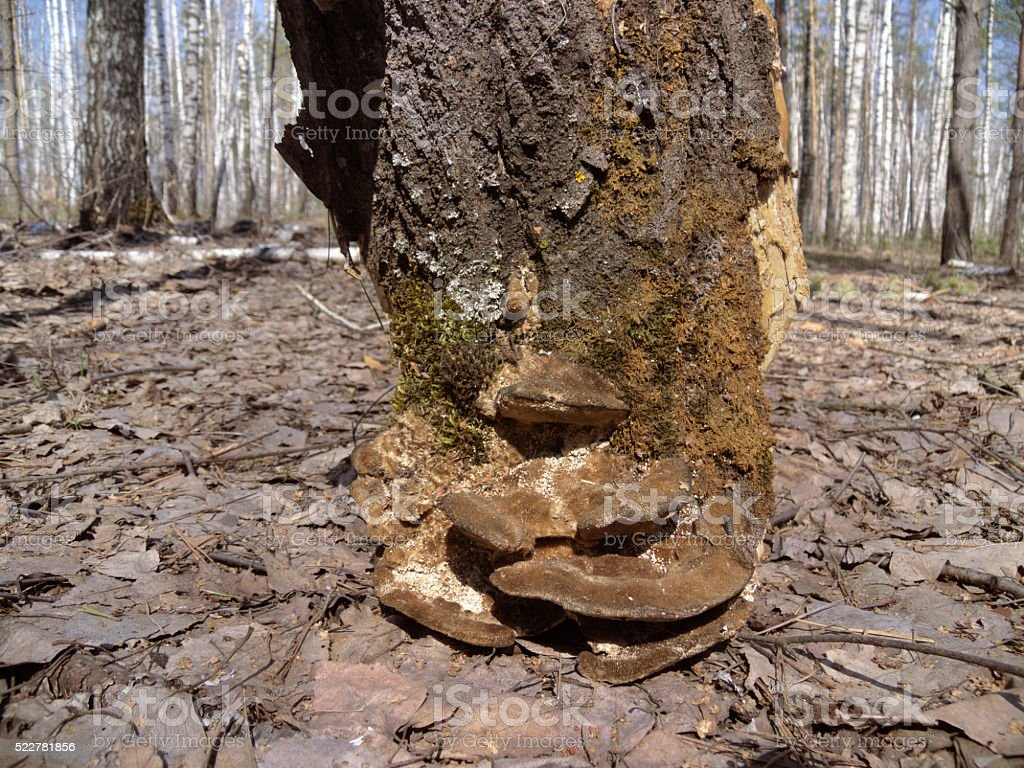 piece of bark, resembling a tree stump. In nature stock photo