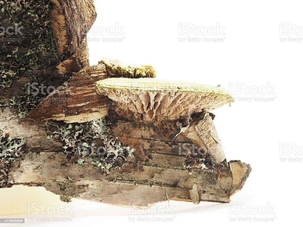 Piece of birch bark on a white background royalty-free stock photo